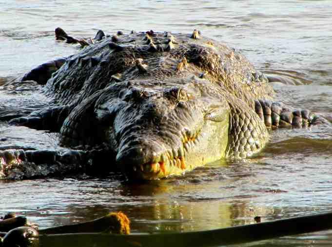 Panama_Coiba_Crocodile